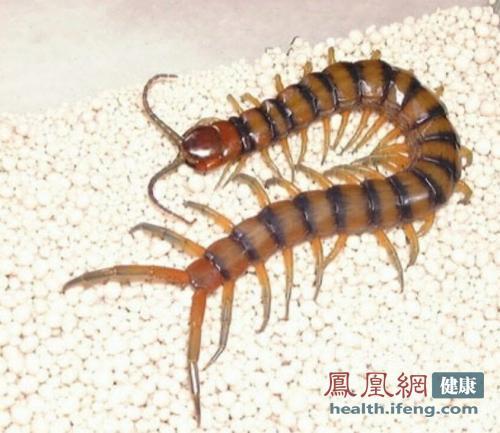 蜈蚣能抗癌 中医偏方教你如何以毒攻毒
