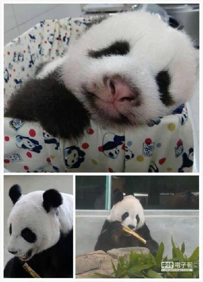 赠台大熊猫宝宝祝中秋平安 会抛媚眼装可爱