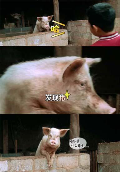 图片大全萌宠猪可爱