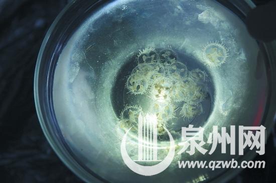 """清源山再现桃花水母 有""""水中大熊猫""""之誉为世界级濒危物种"""