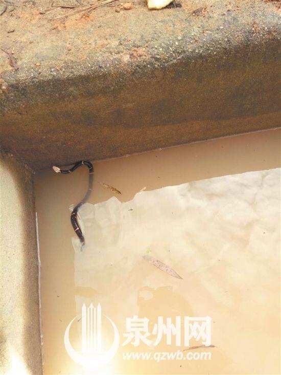 白头蝰蛇比较少见,但毒性很强   永春县一都林业派出所工作人员穆先生透露,最近天气比较冷,这条蛇应该是不小心掉入水槽中的。(记者谢宜萱通讯员郑志林文/图)   相关链接   蛇类中的大熊猫   白头蝰物种比较古老,世界罕见,被称为蛇类中的大熊猫,1998年被《中国濒危动物红皮书》列为极危种,2004年被《中国物种红色名录》列为易危等级,但是目前尚未被列为国家重点保护动物。它们主要出没于东南亚的一些山脉之中。毒性是神经毒,在人体内会引致痛苦、肿胀、高血压、反胃、腹痛、困倦、四肢麻痹、不省人事,最