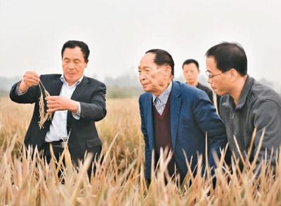 中国超级杂交稻亩产1149公斤创单产纪录