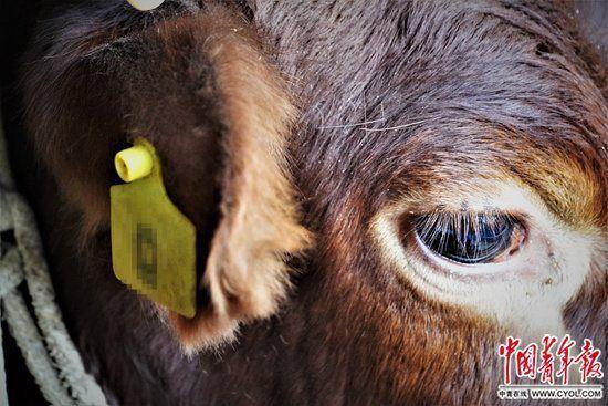 活在表格里的牛:貧困戶借牛套取國家扶貧補貼款