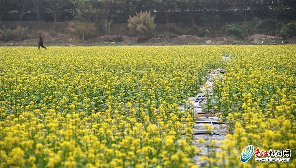晋江市九十九溪流域田园风光项目百亩花海惹人醉 春节观赏正当时
